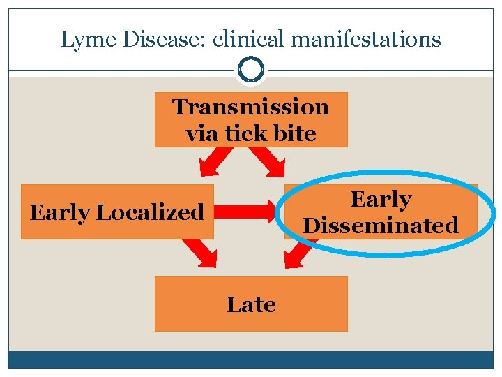 Lyme Disease: clinical manifestations Transmission via tick bite Early Disseminated Early Localized Late