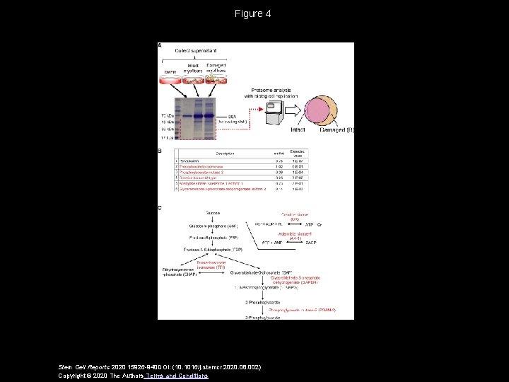 Figure 4 Stem Cell Reports 2020 15926 -940 DOI: (10. 1016/j. stemcr. 2020. 08.