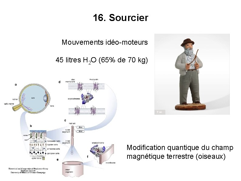 16. Sourcier Mouvements idéo-moteurs 45 litres H 2 O (65% de 70 kg) Modification