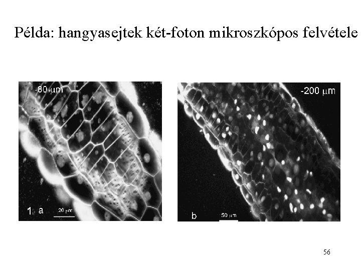 Példa: hangyasejtek két-foton mikroszkópos felvétele 56
