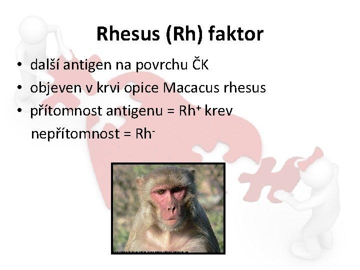 Rhesus (Rh) faktor • další antigen na povrchu ČK • objeven v krvi opice