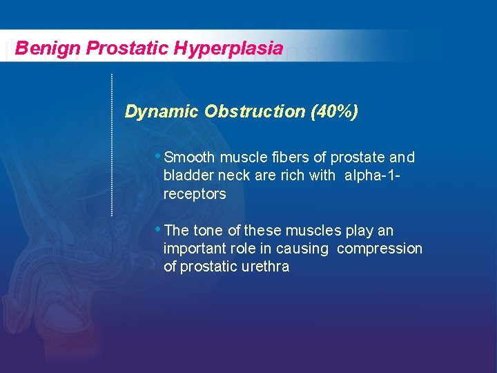 Benign Prostatic Hyperplasia Dynamic Obstruction (40%) • Smooth muscle fibers of prostate and bladder