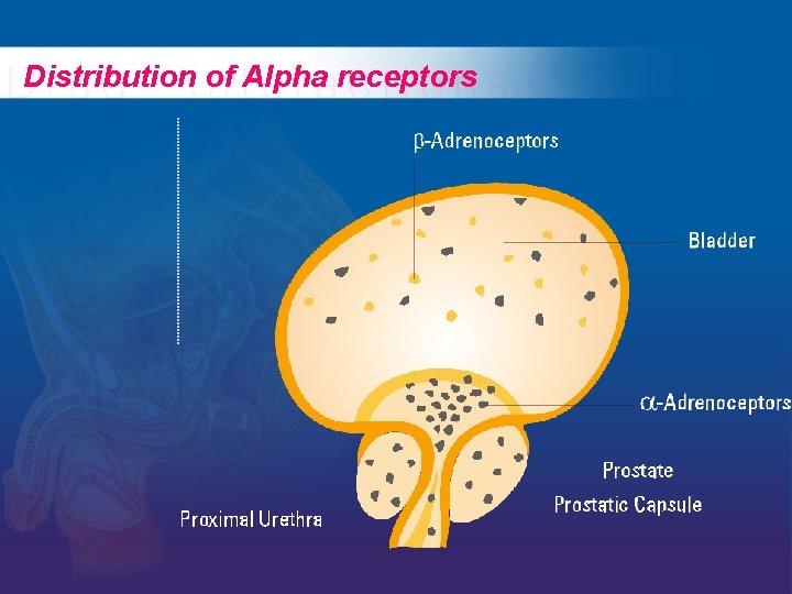 Distribution of Alpha receptors