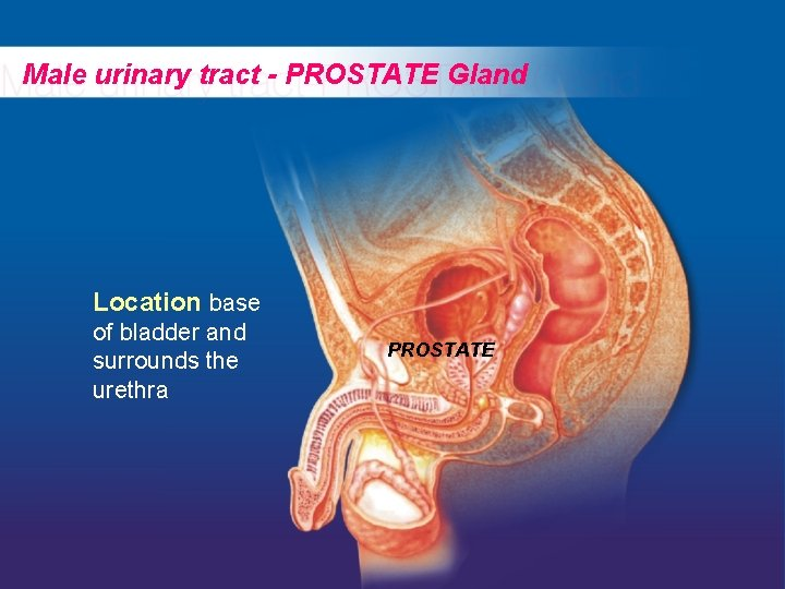 Male urinary tract - PROSTATE Gland Location base of bladder and surrounds the urethra