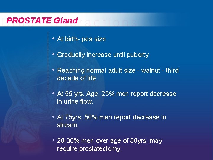 PROSTATE Gland • At birth- pea size • Gradually increase until puberty • Reaching