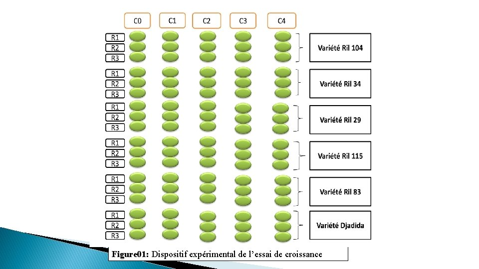 Figure 01: Dispositif expérimental de l'essai de croissance