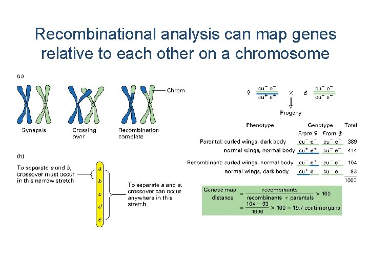 Recombinational analysis can map genes relative to each other on a chromosome