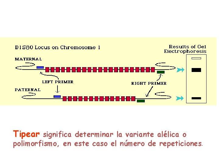 Tipear significa determinar la variante alélica o polimorfismo, en este caso el número de