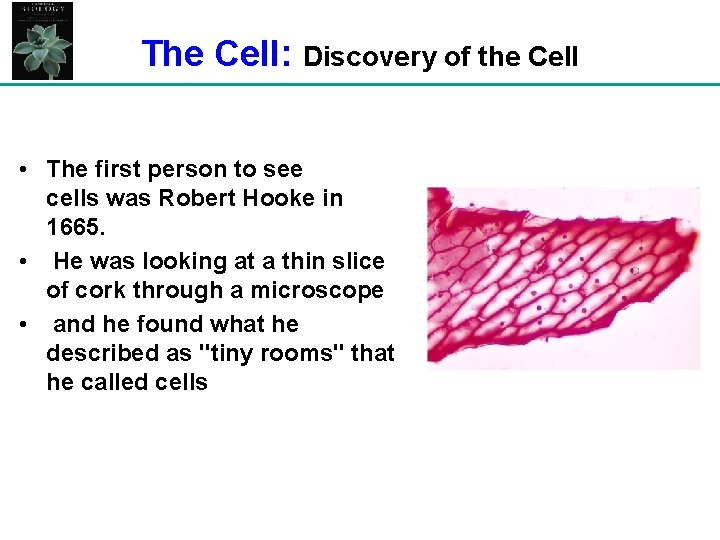 The Cell: Discovery of the Cell • The first person to see cells was