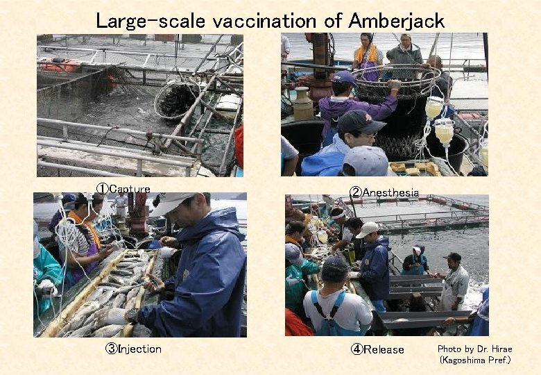 Large-scale vaccination of Amberjack ①Capture ③Injection ②Anesthesia ④Release Photo by Dr. Hirae (Kagoshima Pref.