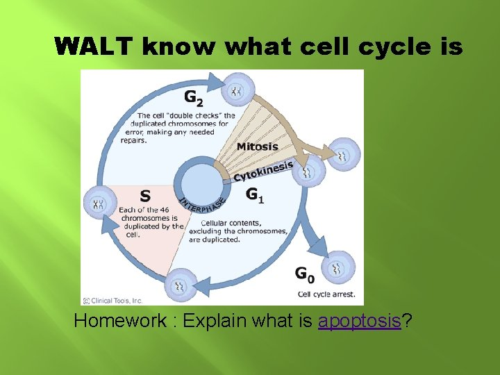 WALT know what cell cycle is Homework : Explain what is apoptosis?