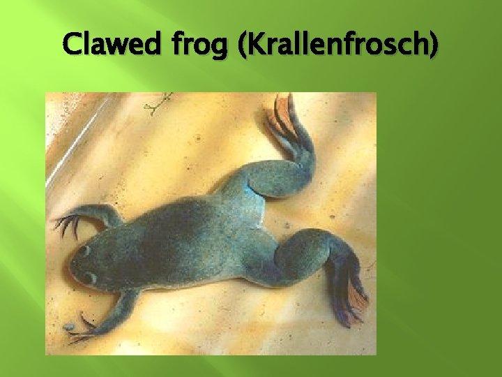 Clawed frog (Krallenfrosch)