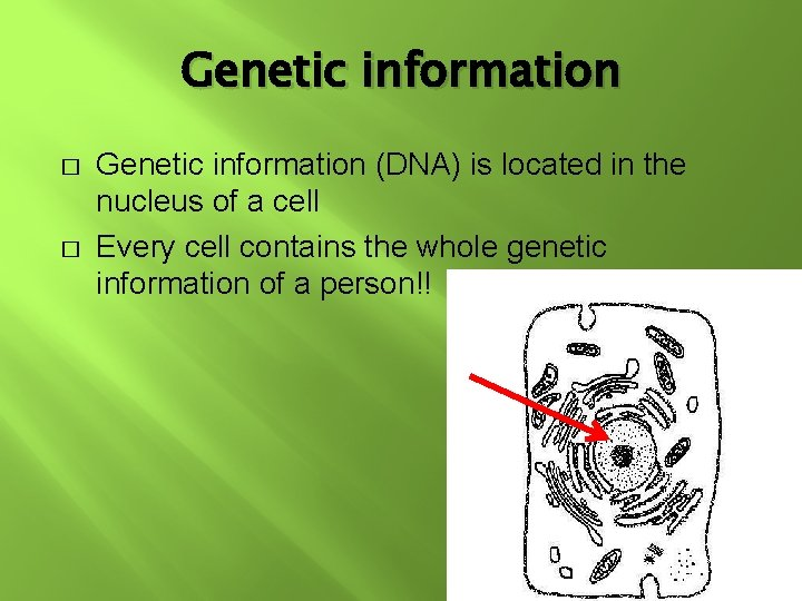 Genetic information � � Genetic information (DNA) is located in the nucleus of a