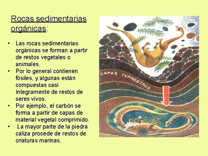 Rocas sedimentarias orgánicas: • Las rocas sedimentarias orgánicas se forman a partir de restos