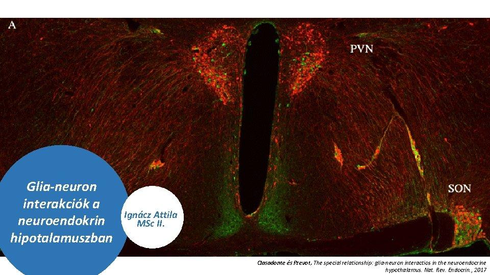 Glia-neuron interakciók a neuroendokrin hipotalamuszban Ignácz Attila MSc II. Clasadonte és Prevot, The special