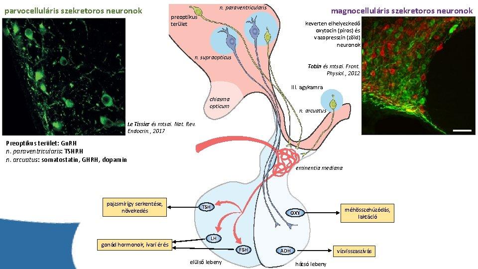 parvocelluláris szekretoros neuronok n. paraventricularis magnocelluláris szekretoros neuronok preoptikus terület keverten elhelyezkedő oxytocin (piros)