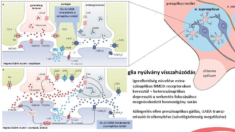 glutamáterg bemenet asztroglia preoptikus terület n. supraopticus GABAerg bemenet Glu és GABA visszavétele a