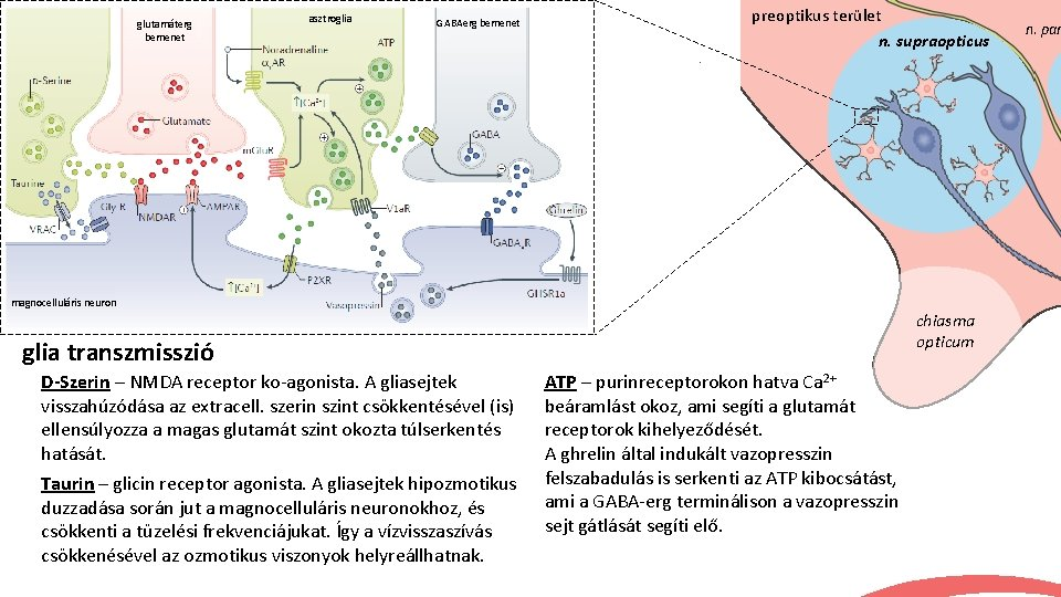 glutamáterg bemenet asztroglia GABAerg bemenet preoptikus terület n. supraopticus magnocelluláris neuron chiasma opticum glia