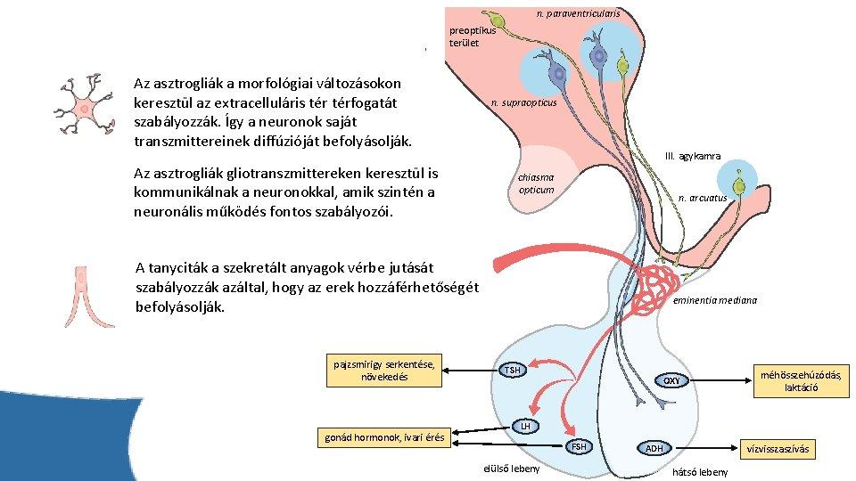 n. paraventricularis preoptikus terület Az asztrogliák a morfológiai változásokon keresztül az extracelluláris térfogatát szabályozzák.