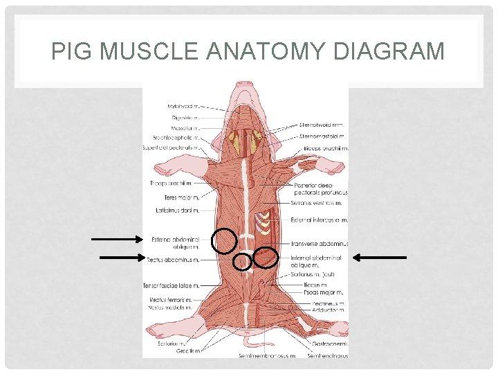 PIG MUSCLE ANATOMY DIAGRAM
