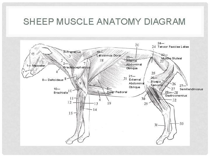 SHEEP MUSCLE ANATOMY DIAGRAM 24— Tensor Fasciae Latae 3–Trapezius 1— Masseter 2— Brachiocephalicus 18—