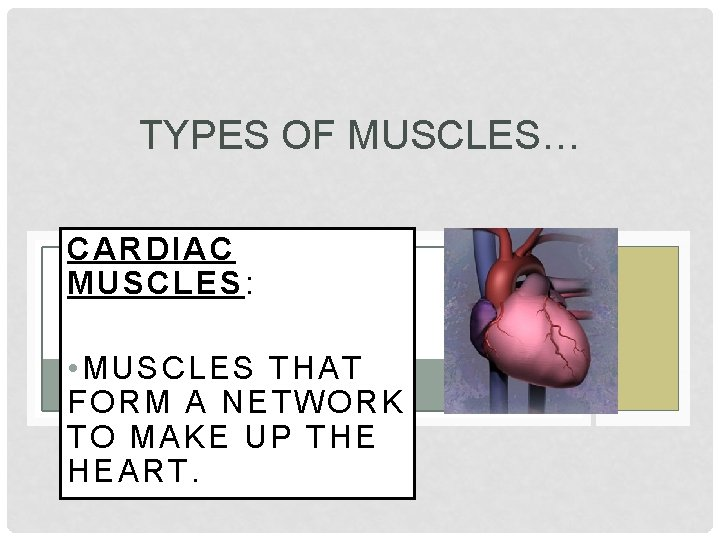 TYPES OF MUSCLES… CARDIAC MUSCLES: • MUSCLES THAT FORM A NETWORK TO MAKE UP