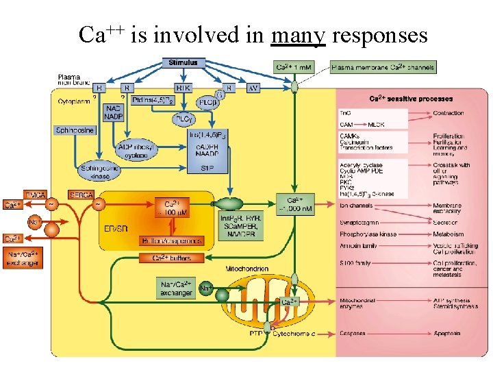 Ca++ is involved in many responses