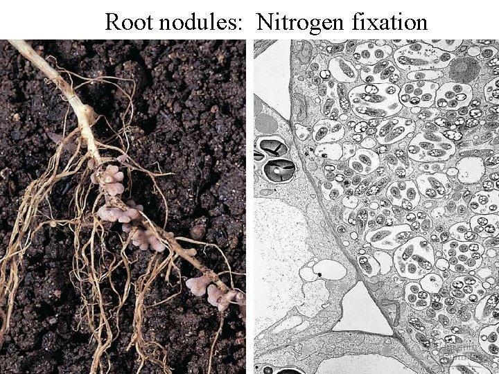 Root nodules: Nitrogen fixation
