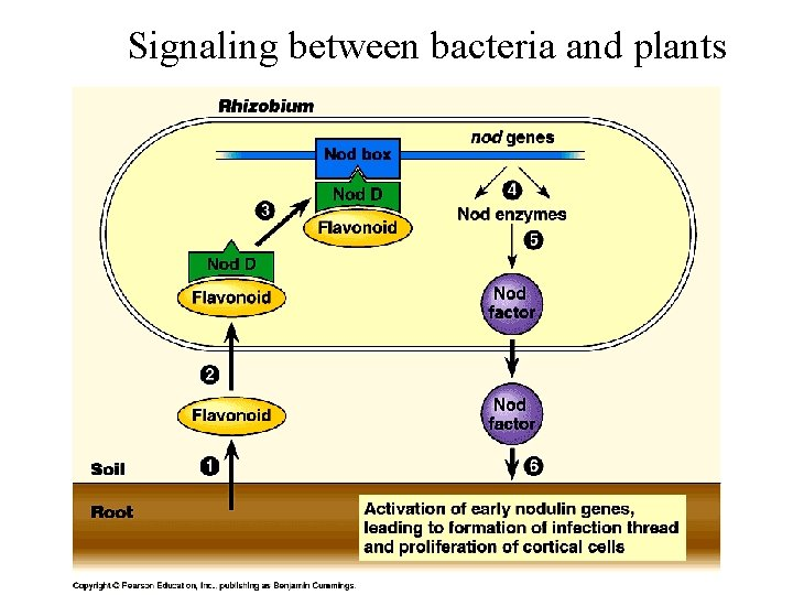 Signaling between bacteria and plants