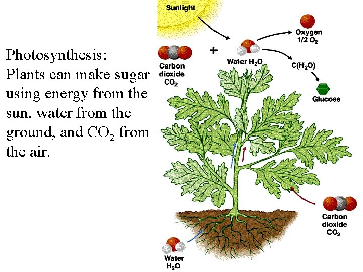 Photosynthesis: Plants can make sugar using energy from the sun, water from the ground,