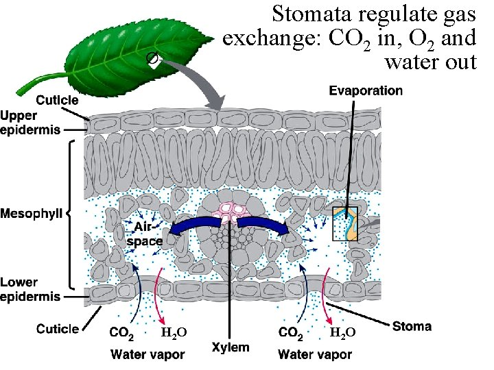Stomata regulate gas exchange: CO 2 in, O 2 and water out H 2