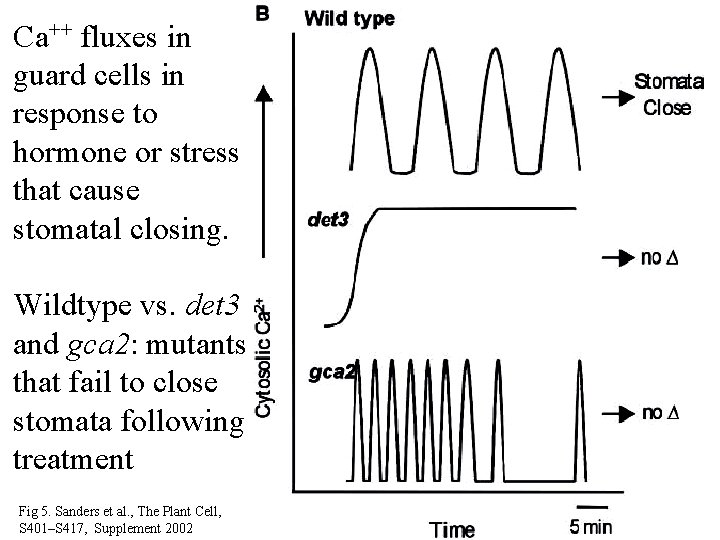 Ca++ fluxes in guard cells in response to hormone or stress that cause stomatal