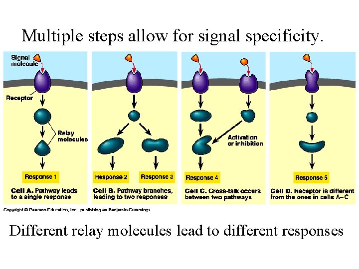 Multiple steps allow for signal specificity. Different relay molecules lead to different responses