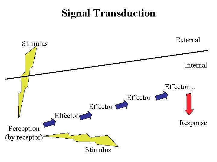 Signal Transduction External Stimulus Internal Effector… Effector Response Perception (by receptor) Stimulus