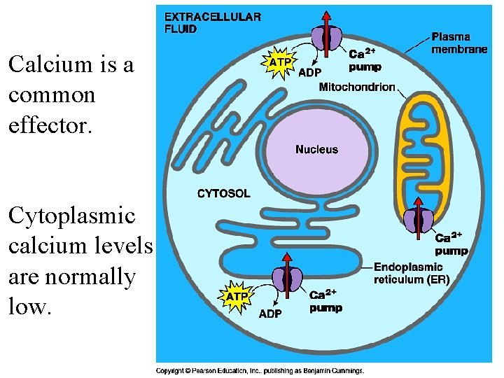 Calcium is a common effector. Cytoplasmic calcium levels are normally low.