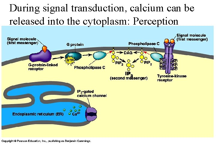 During signal transduction, calcium can be released into the cytoplasm: Perception