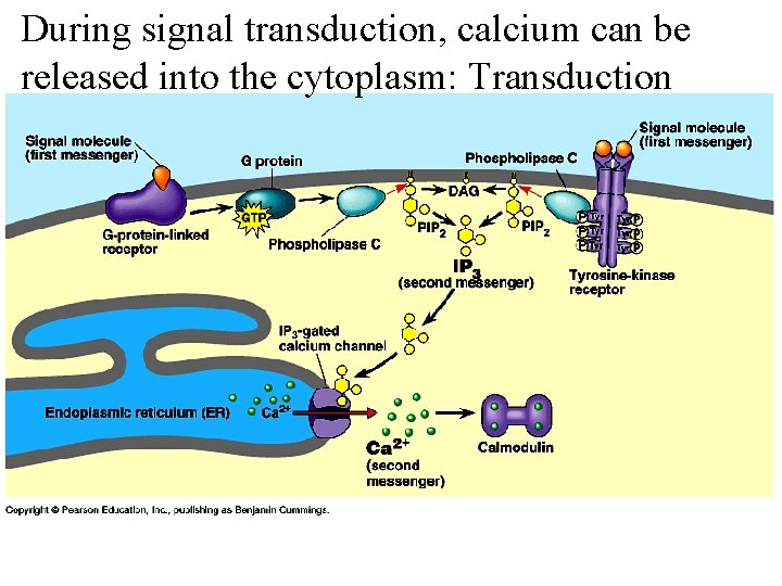 During signal transduction, calcium can be released into the cytoplasm: Transduction