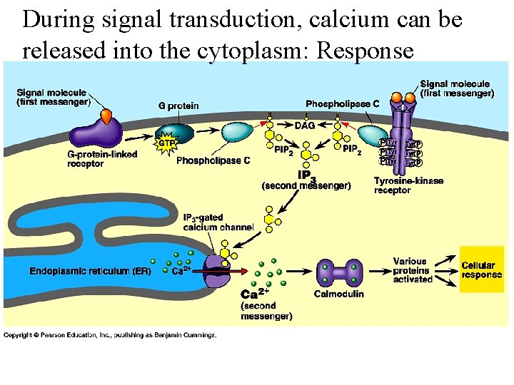 During signal transduction, calcium can be released into the cytoplasm: Response