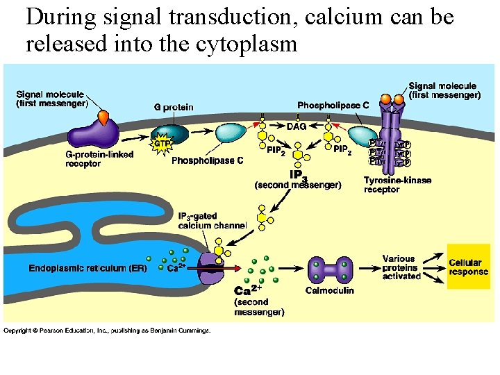 During signal transduction, calcium can be released into the cytoplasm