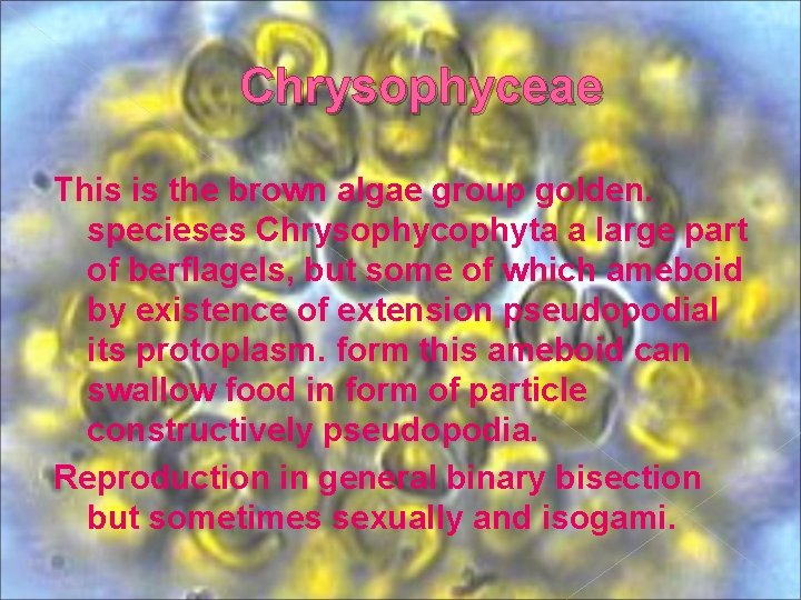 Chrysophyceae This is the brown algae group golden. specieses Chrysophycophyta a large part of