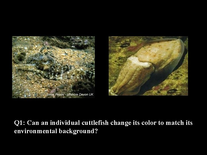 Q 1: Can an individual cuttlefish change its color to match its environmental background?