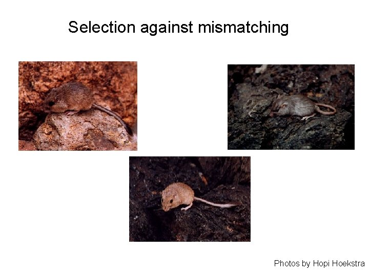 Selection against mismatching Photos by Hopi Hoekstra