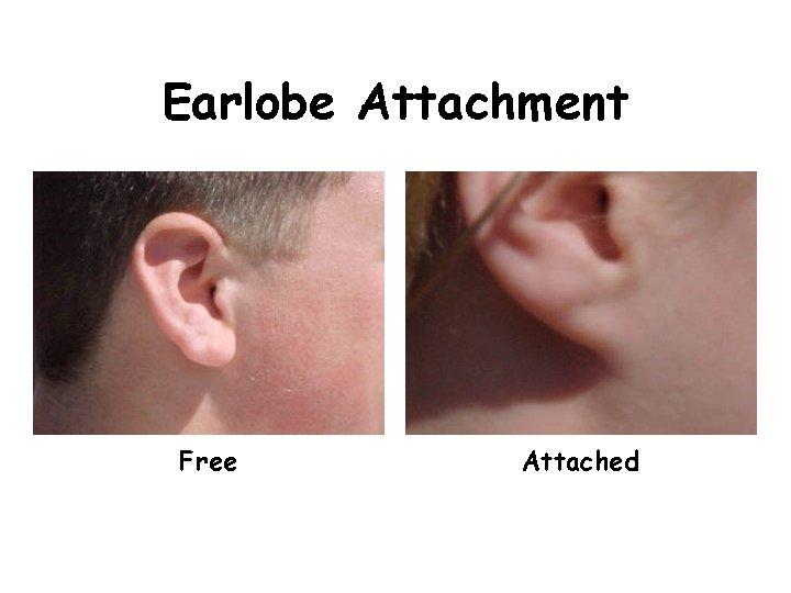 Earlobe Attachment Free Attached