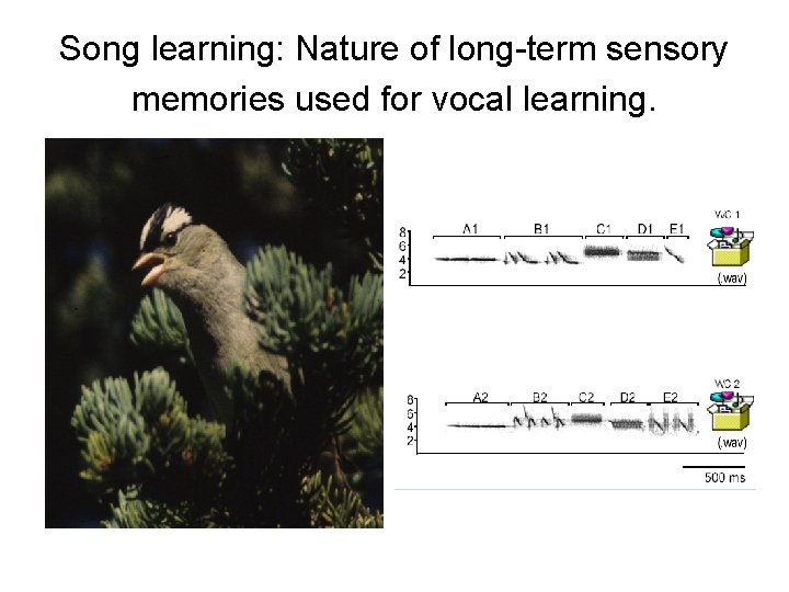 Song learning: Nature of long-term sensory memories used for vocal learning.