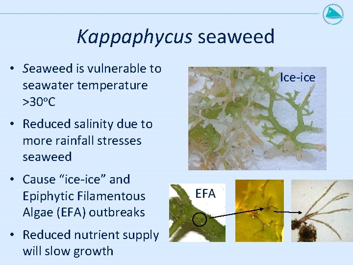 Kappaphycus seaweed • Seaweed is vulnerable to seawater temperature >30 o. C Ice-ice •