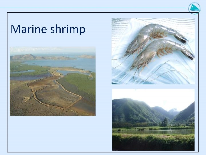 Marine shrimp