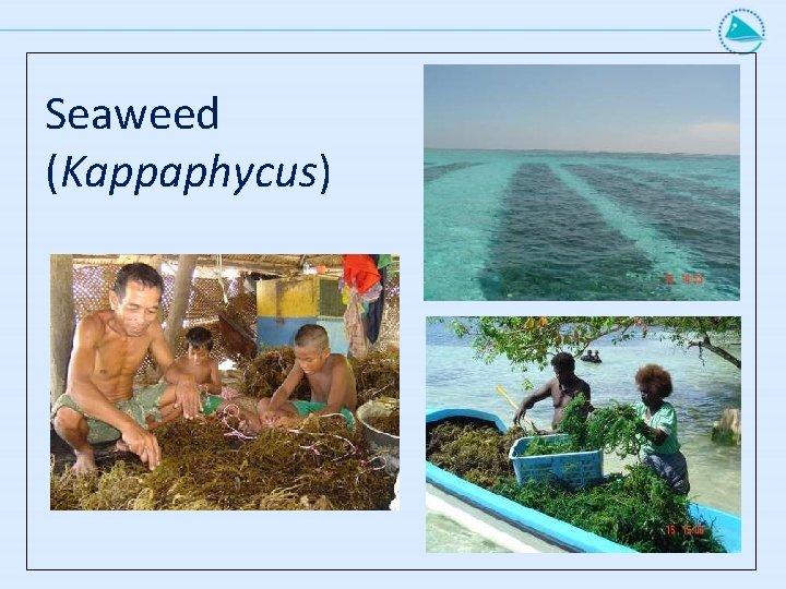 Seaweed (Kappaphycus)