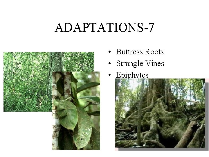 ADAPTATIONS-7 • Buttress Roots • Strangle Vines • Epiphytes