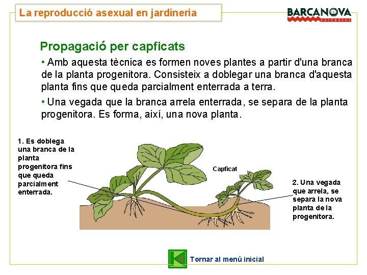La reproducció asexual en jardineria Propagació per capficats • Amb aquesta tècnica es formen