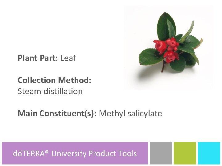 Plant Part: Leaf Collection Method: Steam distillation Main Constituent(s): Methyl salicylate dōTERRA® University dōTERRA®